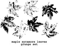 Sycamore leaves Royalty Free Stock Image