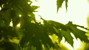 Sycamore Leaves In The Setting Sun. The rays of the sun through the orange leaves of sycamore stock video footage