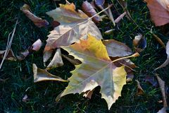 Sycamore Leaves Sport Showy Autumn Colors at Charbonneau Park. On the Snake River near Ice Harbor Dam, near Tri-Cities Washington. Fall Color Pallet of Sycamore stock photo