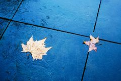 Sycamore leaves on a wet surface Stock Photo