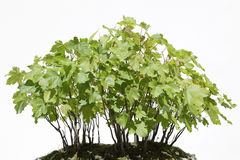 Sycamore maple (Acer pseudoplatanus) bonsai Stock Image