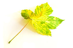 Sycamore maple leaf in autumn Royalty Free Stock Photography