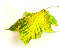 Sycamore maple leaf in autumn Stock Image