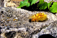 Sycamore Moth Caterpillar Stock Images