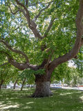 Sycamore Plane Tree. Vertical hdr photo of a sycamore plane tree, aged more than hundred years. It is a old tree, located at Marmara Island, Turkey stock photos