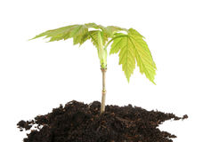 Sycamore sapling isolated Royalty Free Stock Image