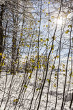 Sycamore Saplings in Snow in Scotland. Royalty Free Stock Images