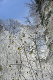 Sycamore Saplings in Snow in Scotland. Royalty Free Stock Photos