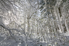 Sycamore Saplings in Snow in Scotland. Royalty Free Stock Image