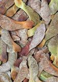 Sycamore Seed Background Royalty Free Stock Image