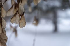 Sycamore seed pods hung on tree. With winter snow in background stock images