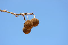 Sycamore Seeds Royalty Free Stock Photography