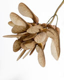 Sycamore Seeds. Acer Pseudoplatanus. Samara Royalty Free Stock Photos