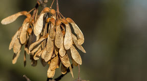 Sycamore seeds. Bunch of dry sycamore seeds hanging from tree in autumn ready to fall stock photos