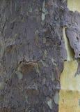 sycamore texturas e fundo imagens de stock