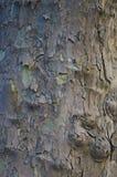 sycamore texturas e fundo foto de stock royalty free