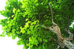 Sycamore Tree. In Century Park stock image