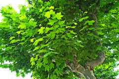 Sycamore Tree. In Century Park stock photography