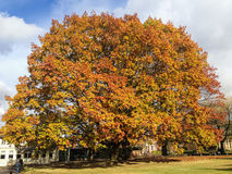 Sycamore Tree in Autumn. Large wide sycamore tree in autumn, winter in the sunshine with red and golden leaves of fall. the tree is in Sevenoaks, kent, UK stock photo