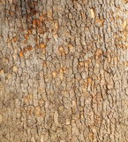 Sycamore tree background Royalty Free Stock Images