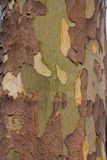 Sycamore Tree Bark. Close up image of mottled sycamore tree bark for background stock photo