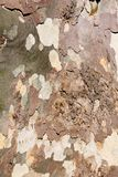 Sycamore tree bark background Royalty Free Stock Photo