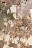 Sycamore tree bark background. Closeup image of mottled sycamore tree bark Royalty Free Stock Photo