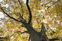 Sycamore tree trunk. Sycamore tree big old trunk royalty free stock photos