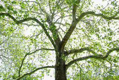 Sycamore Tree Blooming Spring Royalty Free Stock Images
