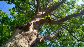 Sycamore tree bottom view. Sycamore tree trunk with branches and green summer leafage. Intresting colorful bark structure. Bottom view stock photos