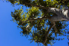 Sycamore Tree Royalty Free Stock Images