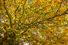 Sycamore Tree Canopy Stock Photos