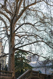 Sycamore tree on embankment in Verona city Royalty Free Stock Images