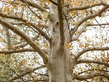 Sycamore tree in fall. Platanus orientalis royalty free stock photos