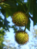 Sycamore-tree fruits. Two sycamore-tree fruits hanging on a twig stock image