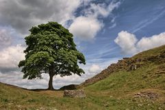 Sycamore tree on Hadrian's Wall Stock Photography