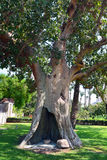 Sycamore Tree in Jericho. 2,000 year old sycamore tree stock photography