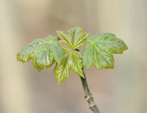 Sycamore Tree leaves. Sycamore Tree - Acer pseudoplatanus Fresh spring leaves royalty free stock photography