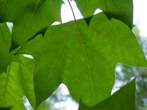 Sycamore tree leaves. Closeup shot royalty free stock image