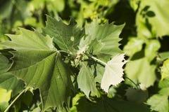 Sycamore Tree Leaves - Platanus occidentalis Royalty Free Stock Photos