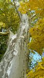 Sycamore tree. Looking up trunk of mature sycamore tree into branches with green and yellow autumn foliage and glimpses of blue sky overhead royalty free stock images