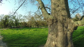 Sycamore Tree nature stock video