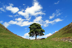 Sycamore tree. The Sycamore tree nestled at the bottom of a dip along the Roman Wall built by Emperor Hadrian at Steel Rigg in Northumberland stock photo