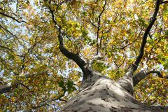 Sycamore tree. Old big trunk stock photography
