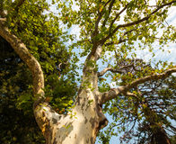Sycamore tree. In the park, summer season stock photos