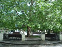 Sycamore tree in park. Surrounded by benches Royalty Free Stock Images