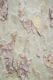 Sycamore tree pattern Royalty Free Stock Photos