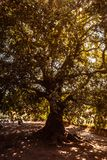 Sycamore Tree by the reverse Sunlight. Gokceada province, Canakkale royalty free stock photo