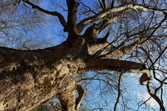 Sycamore tree during spring. Bare branches of sycamore tree under blue sky royalty free stock photos