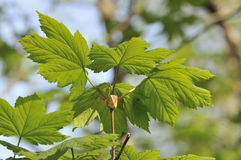 Sycamore Tree spring leaves. Sycamore Tree - Acer pseudoplatanus Fresh spring leaves royalty free stock images